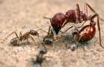 ant-fight2_10